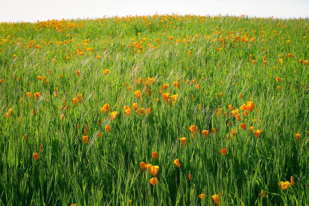 poppy field sacramento valley