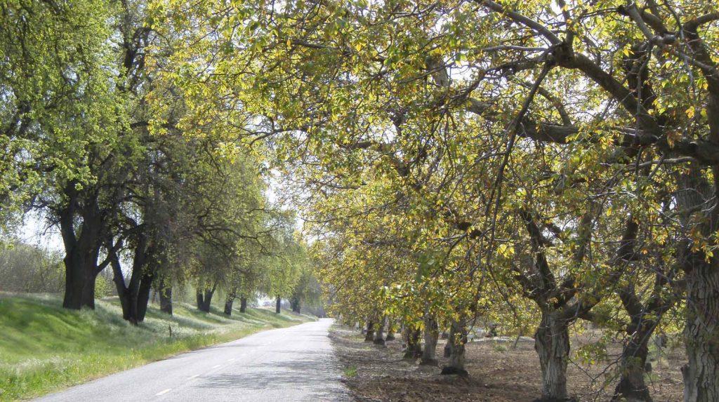 oak trees lining a road