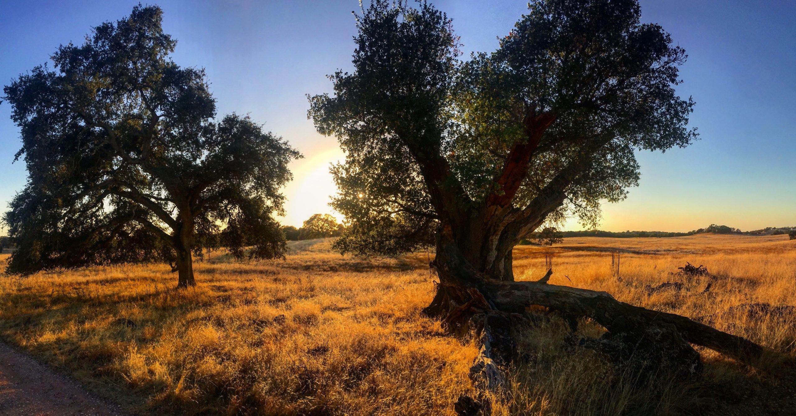 oak trees at sunset